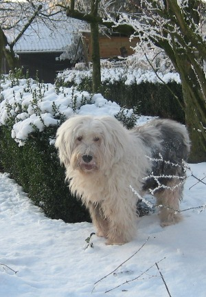 Chester the Old English Sheepdog